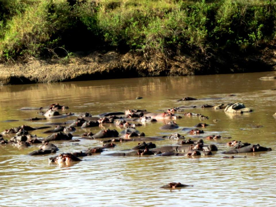 Hippos migrate to the water when it's really hot. Today, we are having breakfast with them