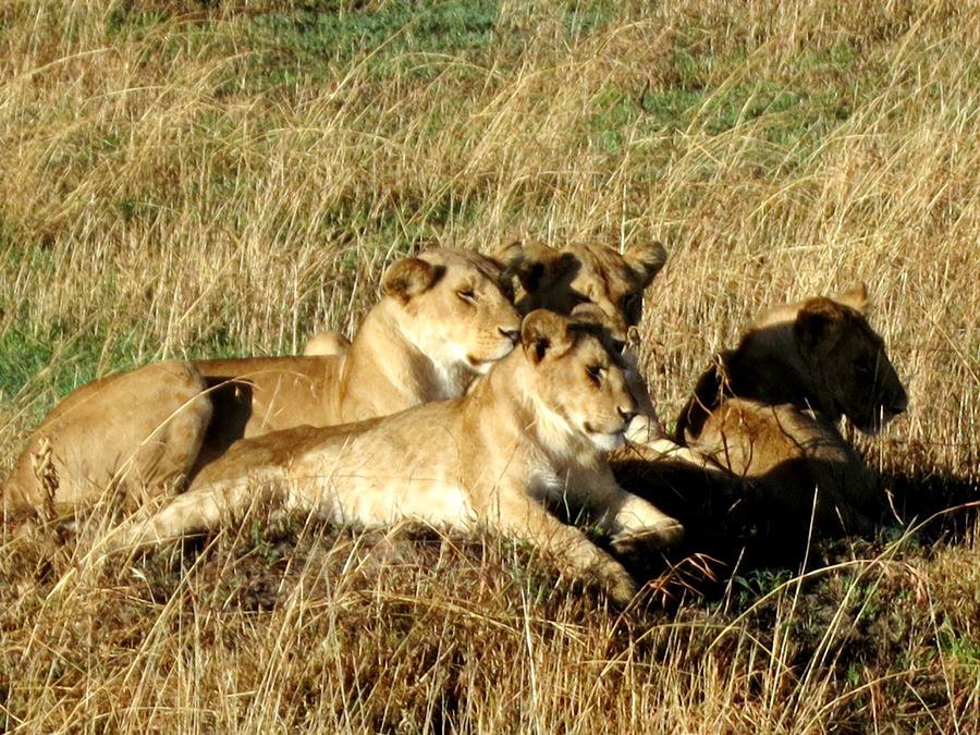 A pride of female lions. The antelope nearby made an alert to all the antelopes that it had spotted the lions and ran as fast as it could